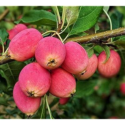 Dolgo Crabapple fruit tree seedling hardy crab apple tree LIVE PLANT : Garden & Outdoor