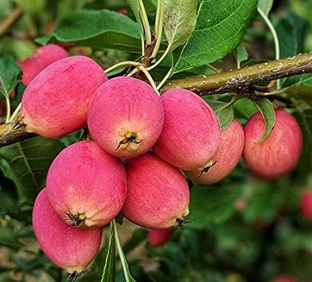 Amazon Com Dolgo Crabapple Fruit Tree Seedling Hardy Crab Apple