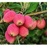 legendary-yes Crabapple Fruit Tree Seedling Hardy Crab Apple Tree Live Plant