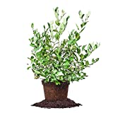 POWDER BLUE BLUEBERRY - Size: 1-2 ft, live plant, includes special blend fertilizer & planting guide