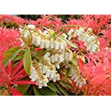 9cm Pot Pieris Forest Flame Large Evergreen Garden Shrub Plant