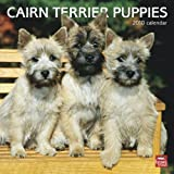 Cairn Terrier Puppies 2010 Square Wall