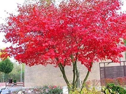25 Seeds. Acer palmatum Rare /'Red Dragon/' Japanese Maple Tree Seeds