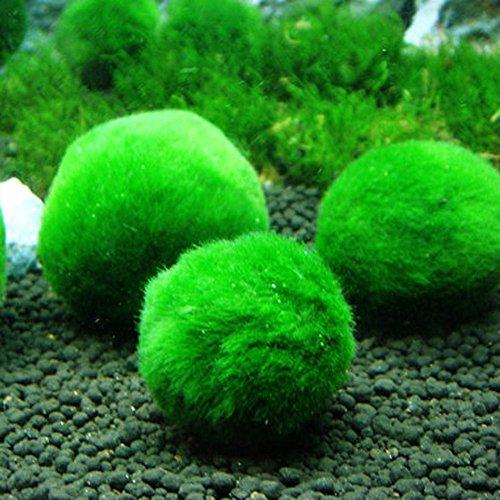 (Hot Sale! Marimo Moss Balls Live Aquarium Plant Algae Fish Shrimp Tank Ornament 3-4cm)
