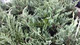 Sandys Nursery Online Juniper Blue Rug Ground Cover 2 Tray of 60 plants each. A total of 120 plant/plugs. Ideal for mass plantings and lining out stock