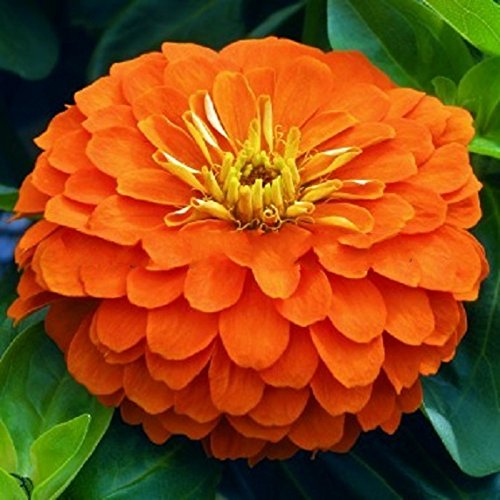 Orange Zinnia Flower (Seeds flowers Zinnia elegans Orange King. For cutting from Ukraine 0.5 gram)