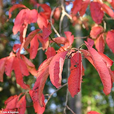 (1 Gallon) Sourwood Tree is The Source of The Famous Sourwood Honey, has Beautiful Foliage That Blooms in Midsummer When Other Trees are just Green, Then Turns a Brilliant Burgundy red Each Fall. : Garden & Outdoor
