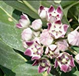 "1 Rooted of Calotropis Procera ""Purple-White Hybrid Crown Flower"""