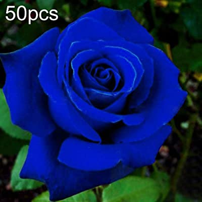 WskLinft 50Pcs Blue Rose Seeds Ornamental Flower Garden Bonsai Office Home Floral Decor for Planting for Indoor and Outdoor All Seeds are Heirloom, 100% Non-GMO! : Garden & Outdoor