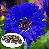 Go Garden 50 Pcs: Blue Gerbera Daisy Seeds Home Garden Herb Bonsai...