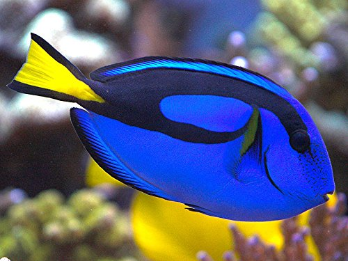 Live Saltwater Aquarium Fish - 5 - 6 '' Hippo Tang - 5-6'' Palette Surgeonfish SALTWATER FISH - by WorldwideTropicals - Live Tropical Fish - Populate Your Fish Tank! by WorldwideTropicals