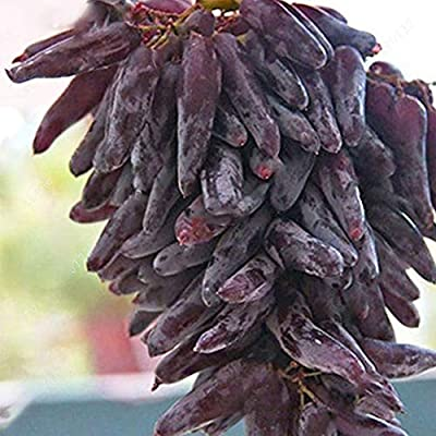 20pcs Grape Seeds Fruit Grape Seed Grape Seed Rare Long Grape Seed Mix Super Sweet Fruit Outdoor Home Garden Planting Decoration Variety Match : Garden & Outdoor