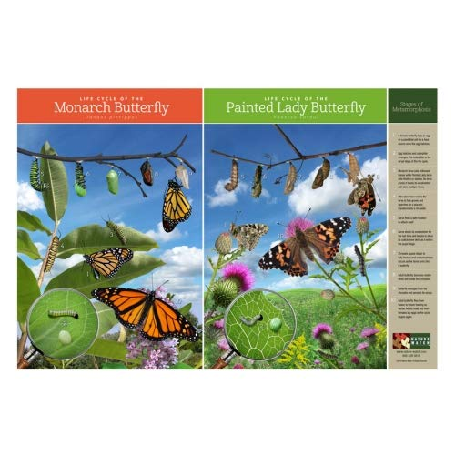 (Butterfly Life Cycle Poster)
