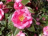 full shade shrubs Shishi Gashira Camellia Sasanqua - Live Plant - Full Gallon Pot