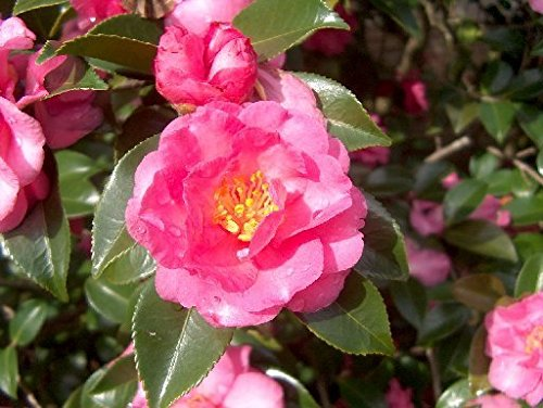 Shishi Gashira Camellia Sasanqua - Live Plant - Full Gallon Pot