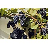 """Perennial Organic Non-Gmo Canadian Wild Grape -""""Vitis Riparia"""" -10 seeds Used for wines,jams,pies extremely cold hardy!"""