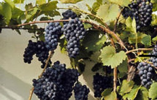 Perennial Organic Non-Gmo Canadian Wild Grape -Vitis Riparia -10 seeds Used for wines,jams,pies extremely cold hardy! Greenlane Gardens