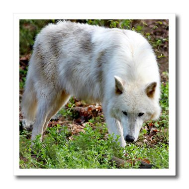 3dRose ht_127848_1 Female Gray Wolf a White Colored Female G