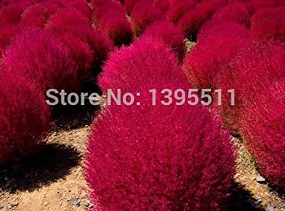 Grass seeds Perennial 300pcs Grass Burning Bush Kochia Scoparia Seeds Red Garden Ornamental easy grow