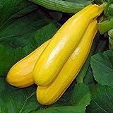 Zucchino giallo Gold Rush F1 (Semente)