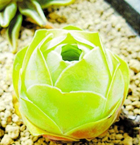 1Bag=50pcs Chinese Succulent Seeds Desert Rose Flower Seeds Bonsai Cheap Suculentas Seed Garden Pot Bonsai Seed Indoor Flowers