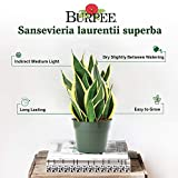 Burpee| Bright Indirect Light | Live Easy Care