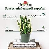 Burpee's Syngonium 'Allusion Mango' | Indirect