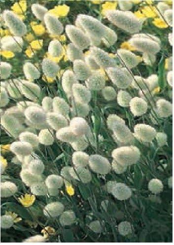 Bunny Tails Ornamental Grass Perennial Flower Seeds Grows RARE Lot 50 seeds