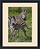 Framed Print of Africa. Tanzania. Female Zebra (Equus quagga) with colt in Serengeti NP