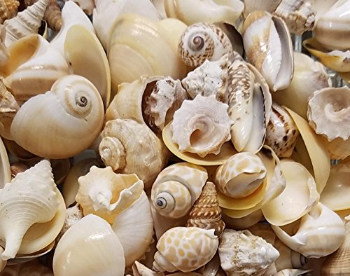 Seashells assorted sea shells in bulk. Gallon bag full mixed seashells