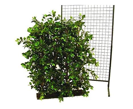 Ficus Haie 600 Feuilles Avec Brise Vue Décoratif Largeur 90