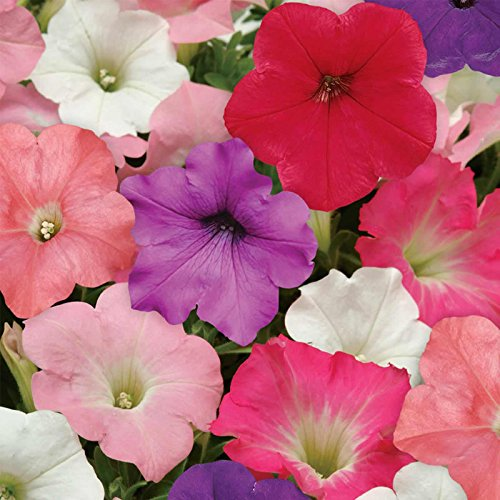 (Petunia - Easy Wave Flower Garden Seed - 100 Pelleted Seeds - Formula Mix Blooms - Annual Flowers - Spreading Low Growing Petunias)