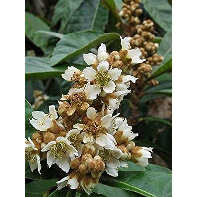 Eriobotrya Japonica | Loquat | Medlar | Chinese Plum | Pipa | Nespola | 5_Seeds : Garden & Outdoor
