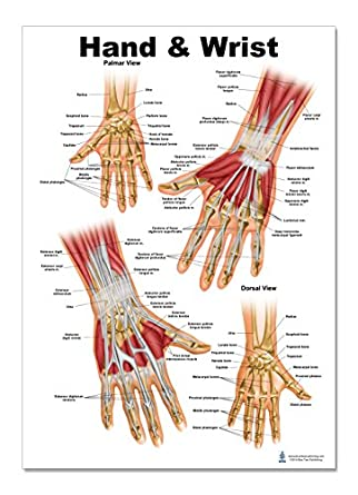 hand and wrist anatomical poster size 12wx17t amazoncom