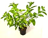 9GreenBox - One gal Night Blooming Jasmine Plant - Cestrum nocturnum