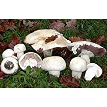 White Button Mushroom (Agaricus nivescens) Mycelium Spawn Dried Seeds (10g)