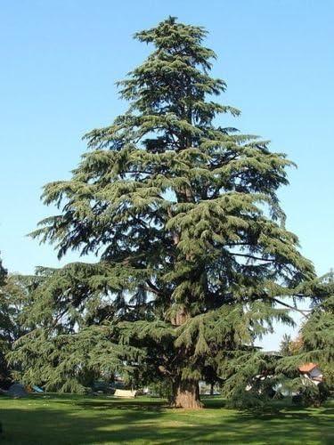 Deodar Cedar, (cedro del Himalaya), Cedrus Deodara, Árbol 10 Semillas
