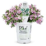 Snowstorm Pink Bacopa (Sutera)Live Plant, Pink Flowers, 4.25 in. Grande, 4-pack