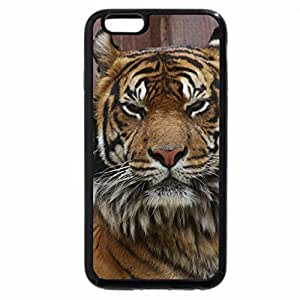 iPhone 6S / iPhone 6 Case (Black) staring tiger