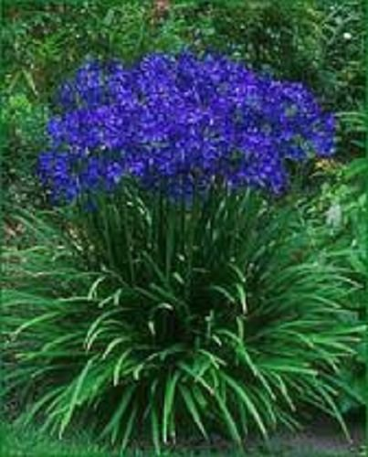 25seedspack Agapanthus Blue Lily Of The Nile Flower Seeds