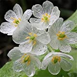 Japan Lotus Seeds Bonsai Package 10Pcs/lot Diphylleia Grayi Beautiful Rare Trolltech Plant Lotus In Summer Hydroponic Flowers
