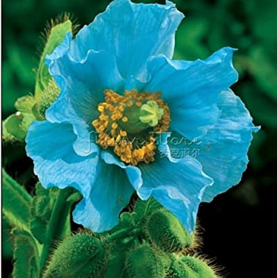 400 PERSIAN BLUE POPPY Papaver Somniferum Flower Seeds