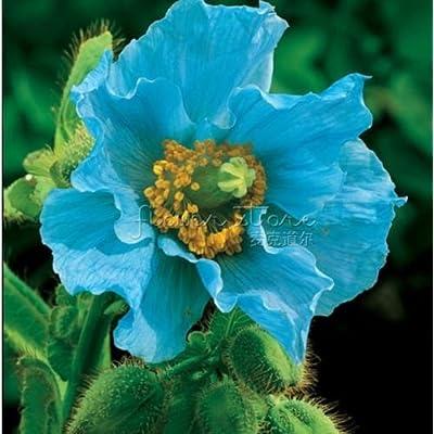 400 PERSIAN BLUE POPPY Papaver Somniferum Flower Seeds : Poppy Plants : Garden & Outdoor