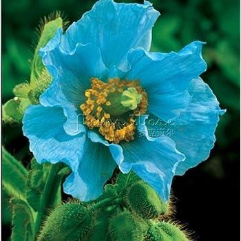 Amazon 400 persian blue poppy papaver somniferum flower seeds 400 persian blue poppy papaver somniferum flower seeds mightylinksfo