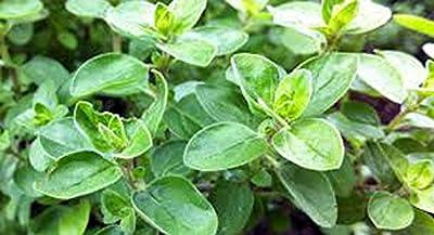 Marjoram Seed, Sweet, Heirloom, Organic, Non GMO, Herb, 100 Majoram Seeds