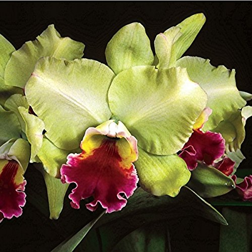 blc-magic-meadow-napolean-hcc-aos