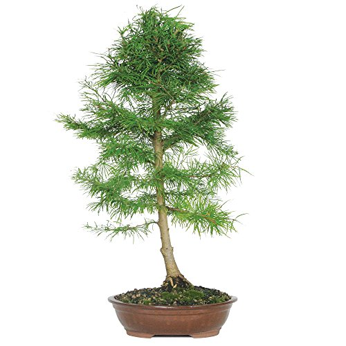 Brussel's Golden Larch Bonsai - XX Large - (Outdoor) by Brussel's Bonsai