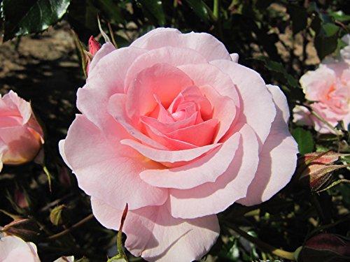 HAPPY RETIREMENT - 4lt Potted Floribunda Garden Rose Bush - Sparkling Pale Pink Blooms - Great Retirement Present/Gift