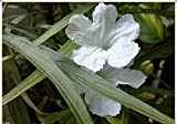 Mexican petunias Seed- Ruellia brittoniana 'Souther Star White' 30 Seeds!