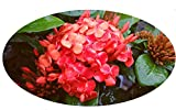 MAUI RED Ixora Tropical Live Plant Orange Red Flower Starter Size 4 Inch Pot Emerald Goddess Gardens TM